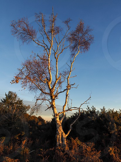 Sunlit Silver Birch Tree in the Ashdown Forest photo