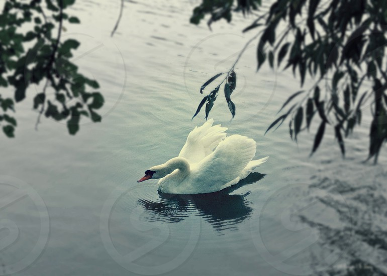 Grace on the river - The elegance of a swan in full feather showing off its wings. photo