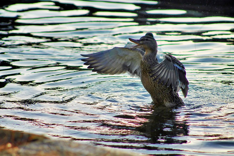 Anxious Mother Duck protecting her young flapping her wings and splashing the water to warn them. photo