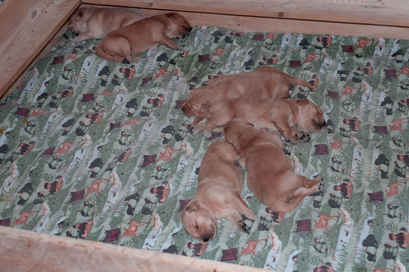 Young golden retriever puppies with closed eyes in whelping box. photo