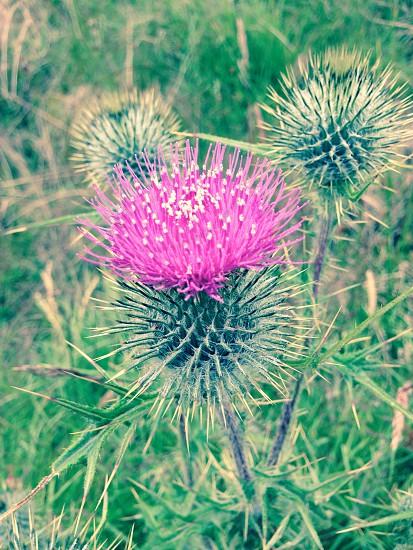 Scottish Thistle  photo