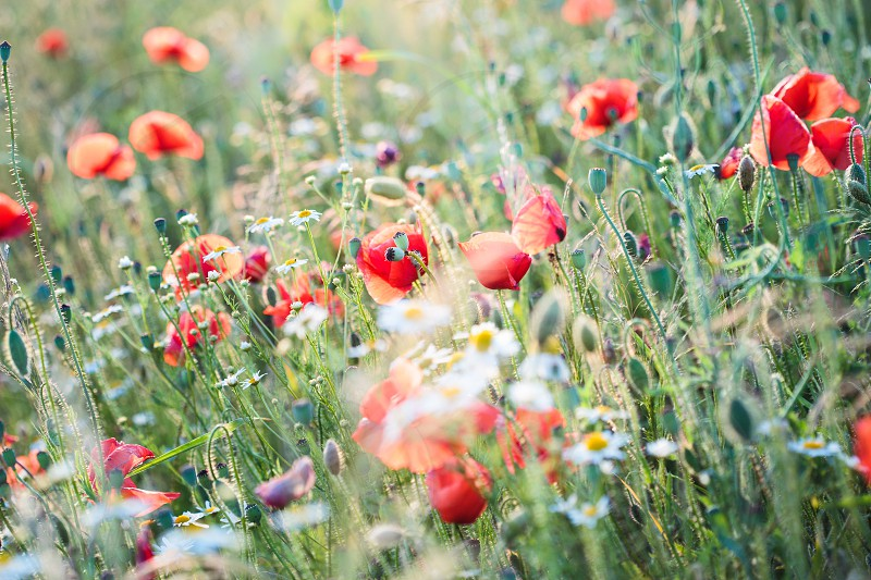 Poppies flowers and other plants in the field. Flowery meadow flooded by sunlight in the summer photo