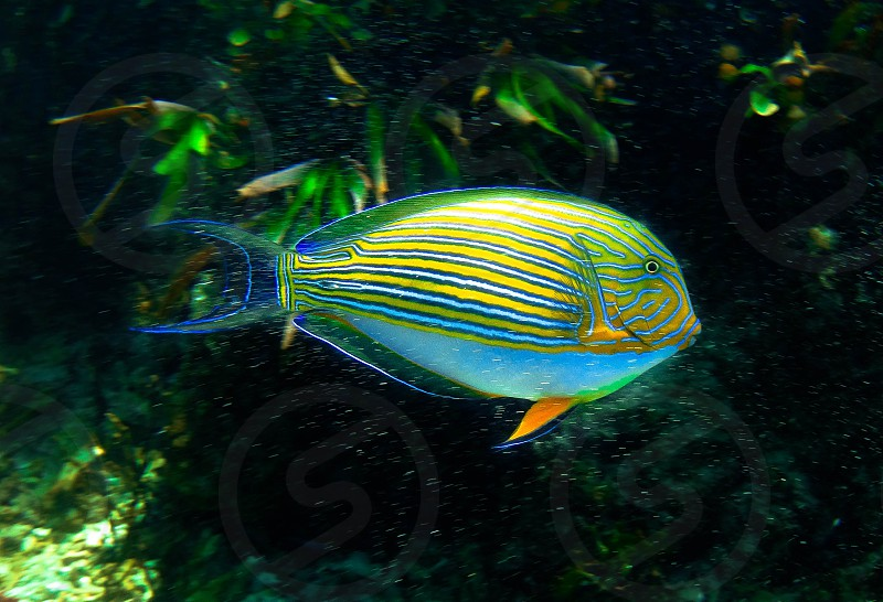 fish coral reef tropical colours blue stripes nature underwater ocean marine life single birhgtly coloured bright fluorescent snorkel dive  photo