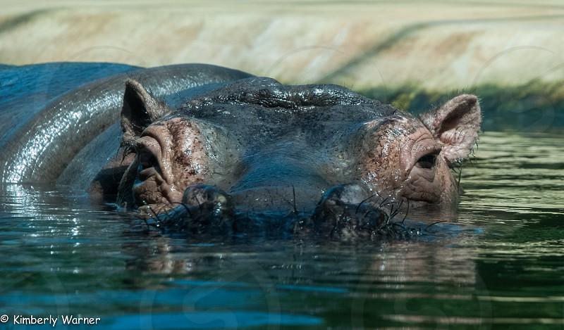 gray hippo in body of water photo