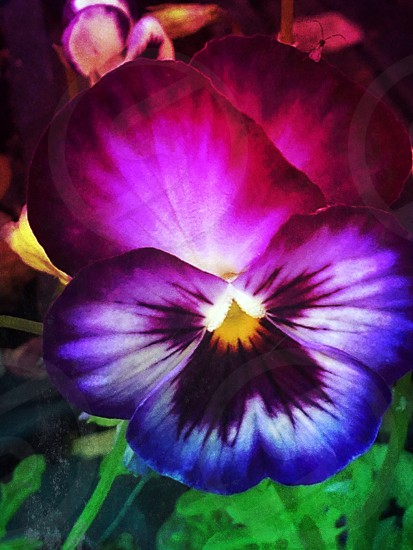 Pansy flower photo