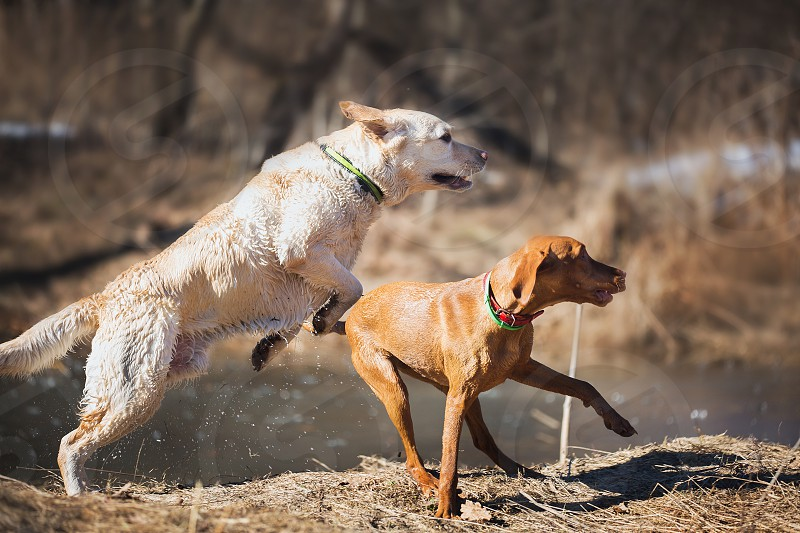 Dogs pets animals playing outdoor nature spring river playfull Labrador vyzhla  ridgeback  photo