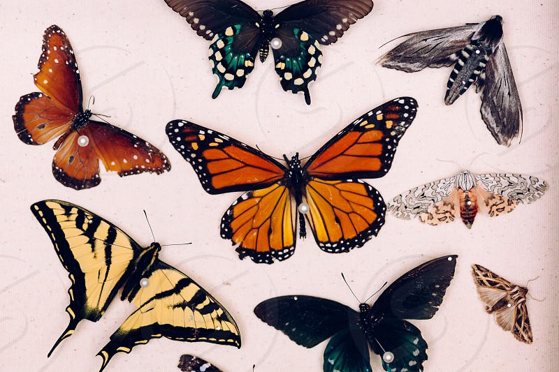 collected & pinned butterflies  photo