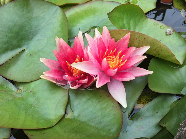 Flower in pond photo