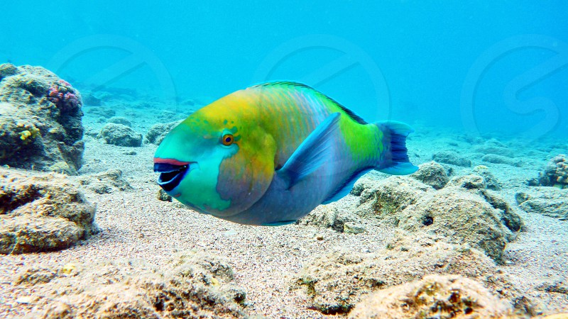 Parrot fish in Red sea Eilat Israel.                     photo
