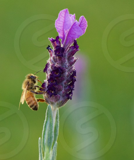 A bee on lavender photo