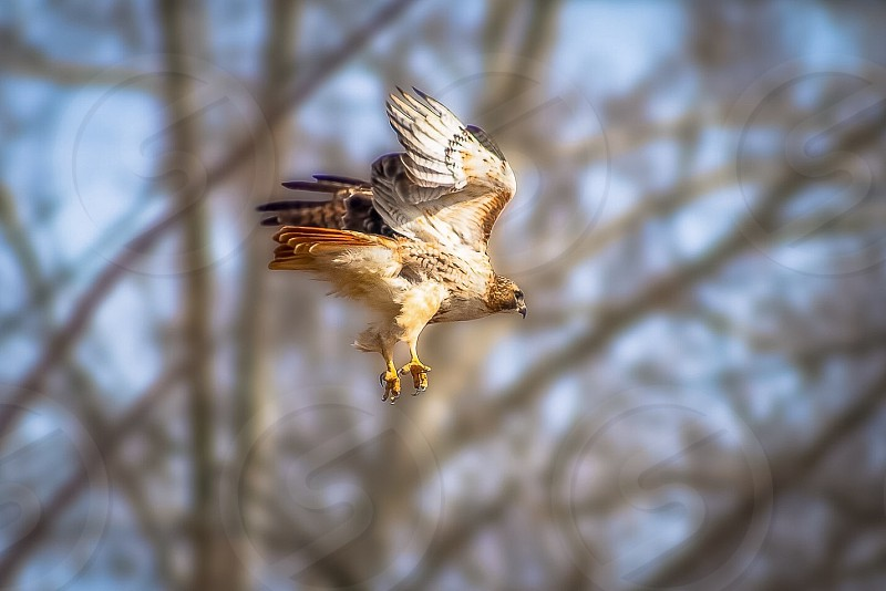 A Red-Tailed Hawk takes flight from his watchtower.  Location - Ohio.                           Animal  Nature  Wildlife  Bird  Hawk  Raptor  Predator  Bird of Prey  Hunter  Ohio  North America.   photo