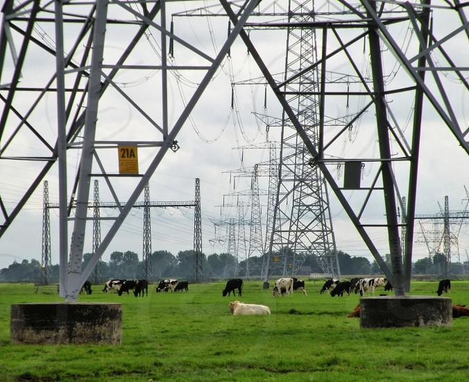 koeien weiland electriciteitsmasten. waterland oost. nederland photo