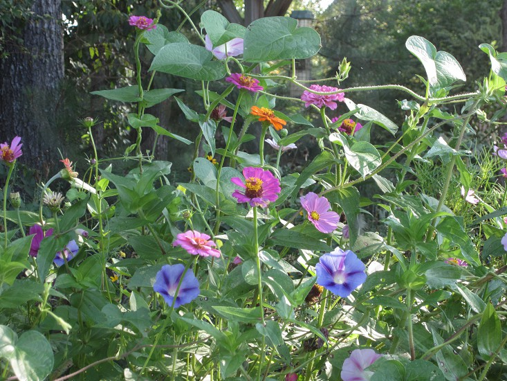 Morning Glories and other flowers photo