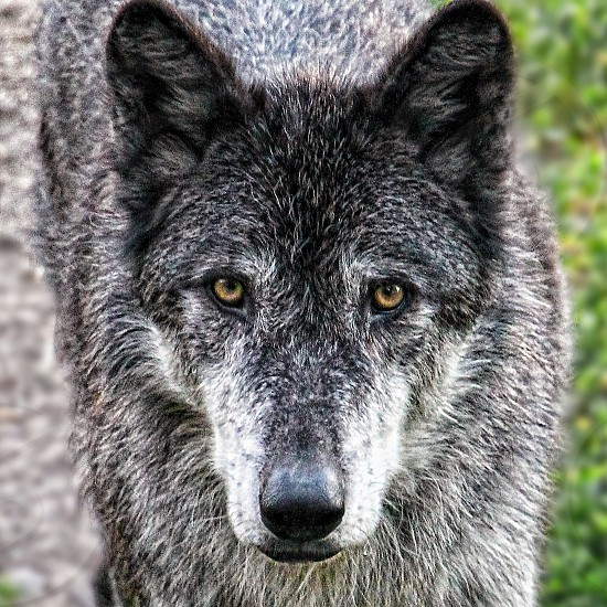 A gray wolf stares at the camera photo