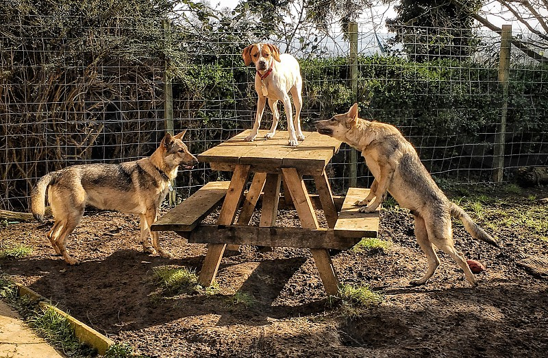 photo of three dogs near brown wooden picnic table photo