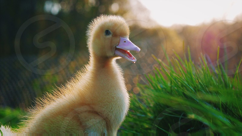 Little yellow duckling on green grass. Funny bird on the farm photo