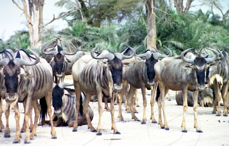 The Gnu's.   Amboseli National Park Kenya photo