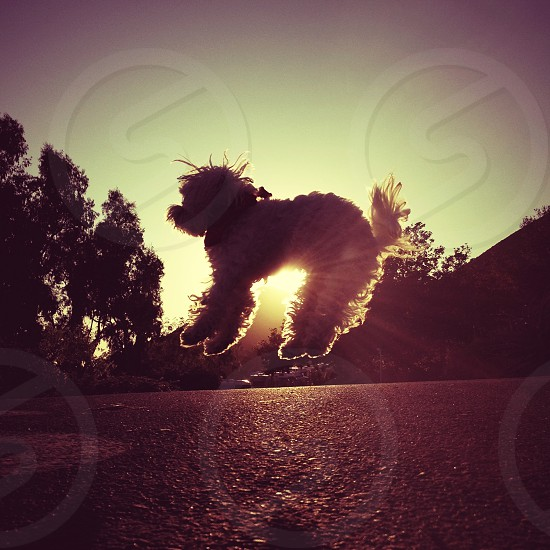 white  dog jumping  silhouette  photo
