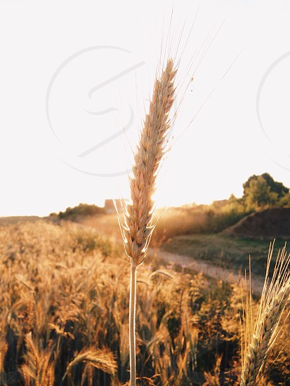 stalk of wheat in a field photo
