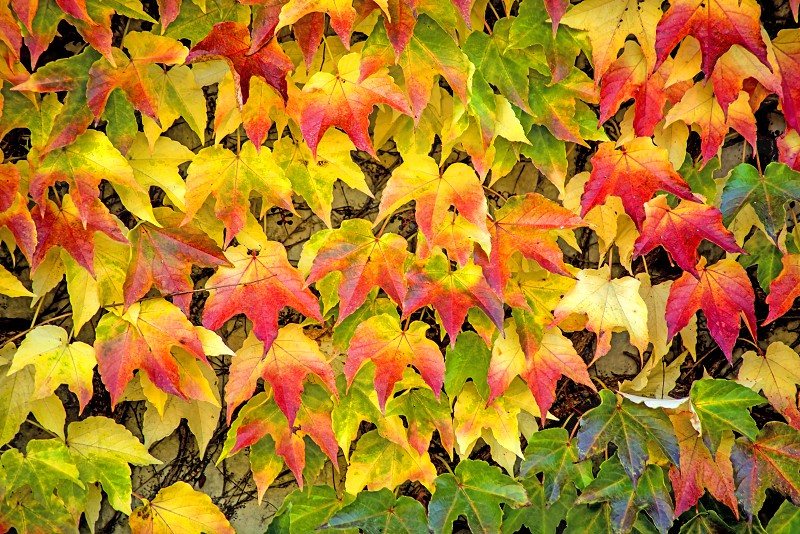 autumnal colored leaves photo