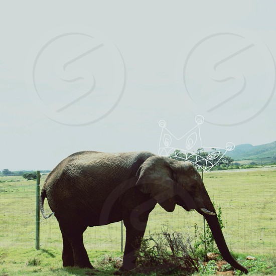 The King of the  Elephants photo
