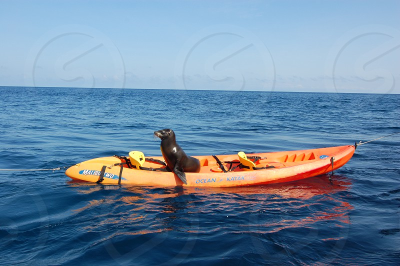 black sea lion on red rubber boat photo