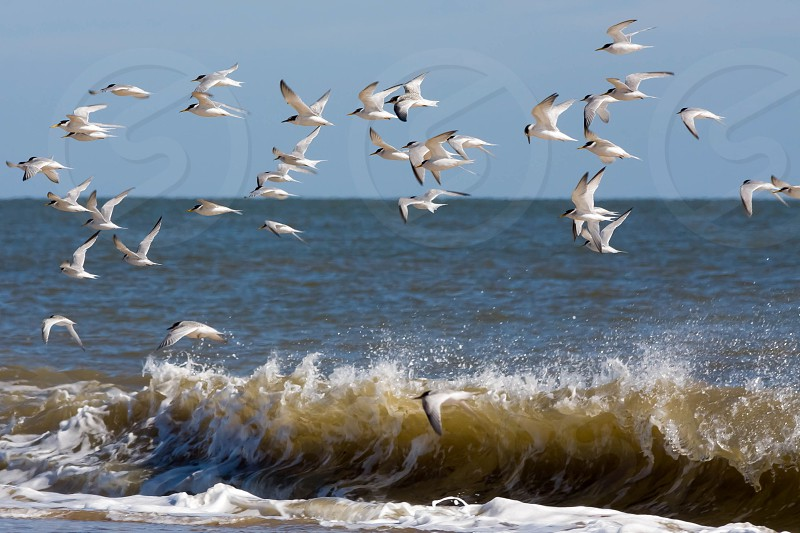 Little Terns (Sternula albifrons) Flying along the Beach at Winterton-on-Sea photo