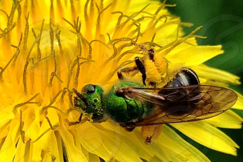 A close up of a green bee getting some pollen from a yellow flower.  photo