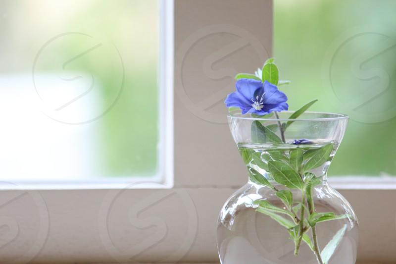 窓辺の一輪の花(アメリカンブルー) americanblueflowerwindowflower potblue photo