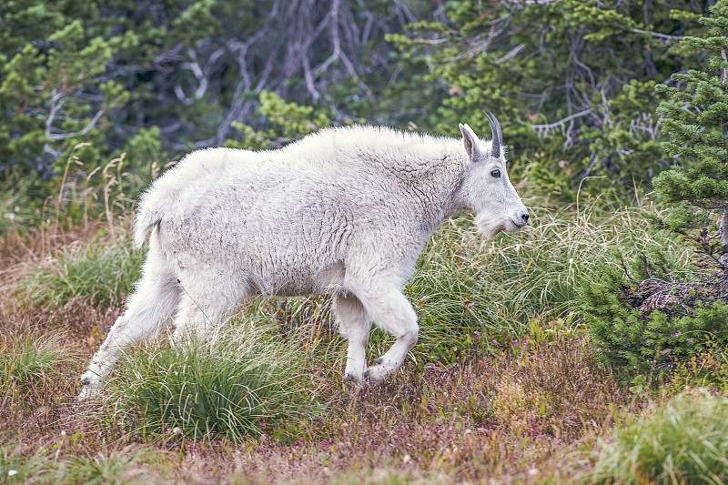 Mountain Goat (Oreamnos americanus). Hidden Lake Trail. Glacier National Park. Montana. USA photo