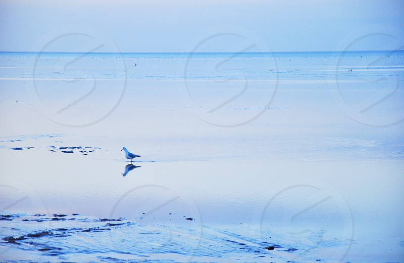 Pigeon on frozen sea Cuxaven (Northern Sea Germany) photo