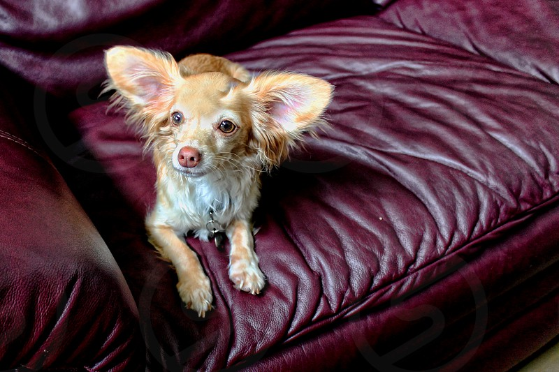 A small Papillon dog with its large ears cocked looks up from a couch. photo