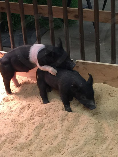 Two piglets at play photo