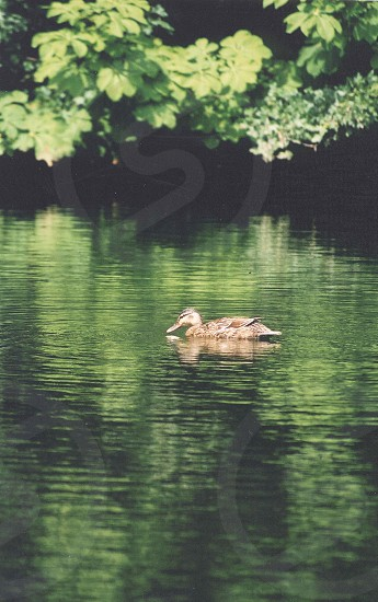 duck on river photo