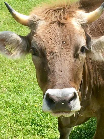 Cow farm animal  photo