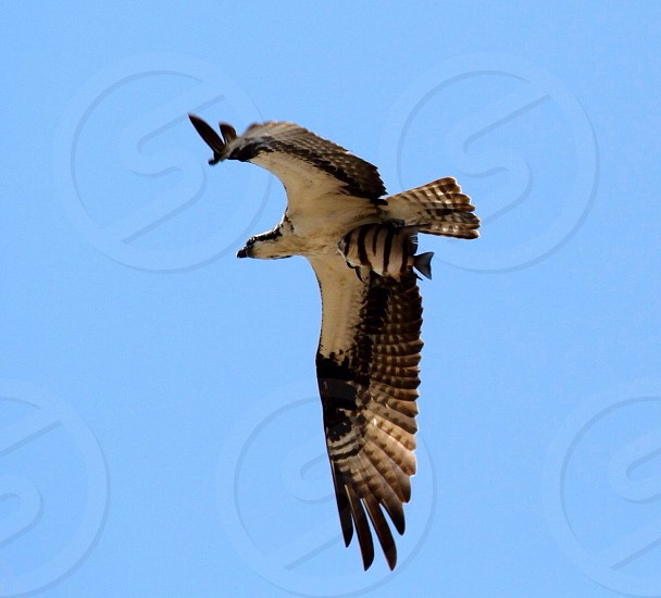 Osprey in flight over Kill Devil Hills NC.  Post-Hurricane Arthur -- this Sergeant Major loses his stripes and is on his way to the mess hall photo