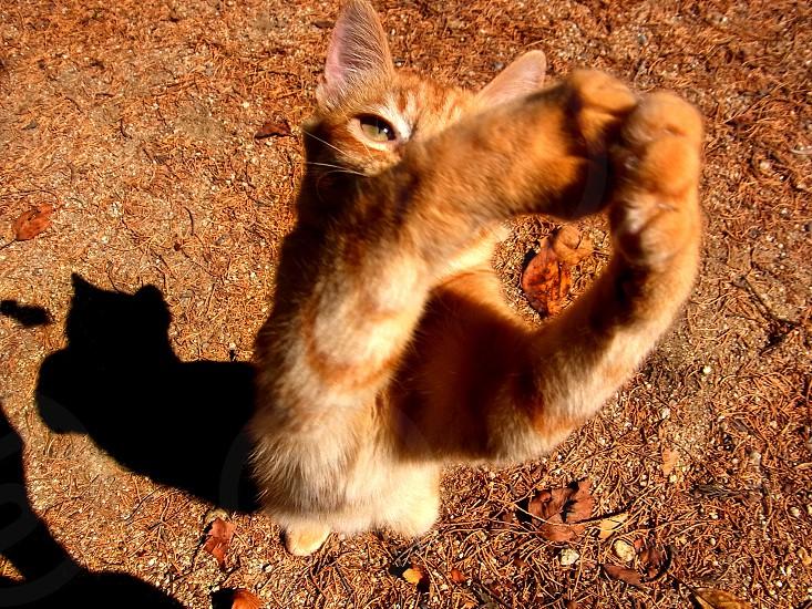 orange tabby cat reaching up high photo