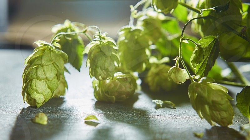 Fresh branches and cones of green hop over old wooden background. Beer concept. photo