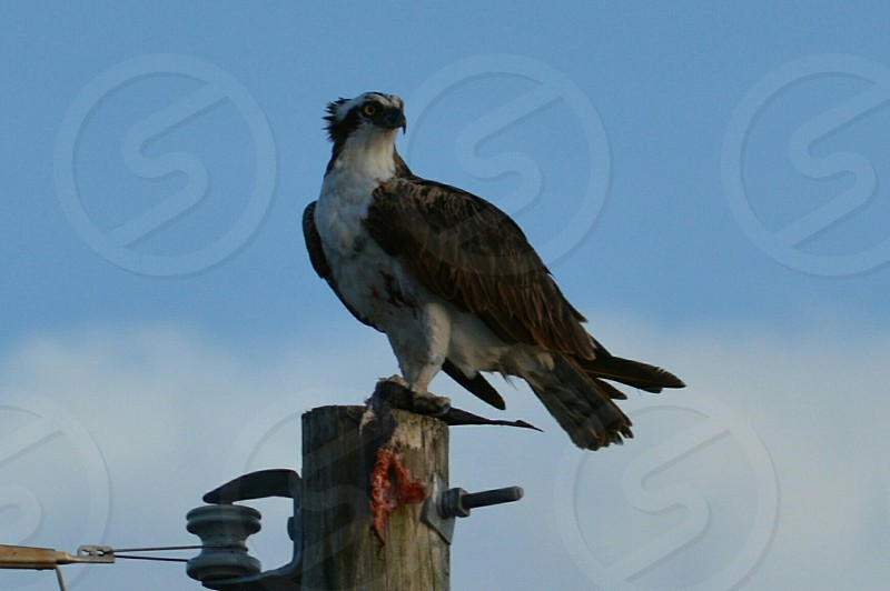 Osprey dinner fish nature sky blue pole perch hungry clouds bird animal photo