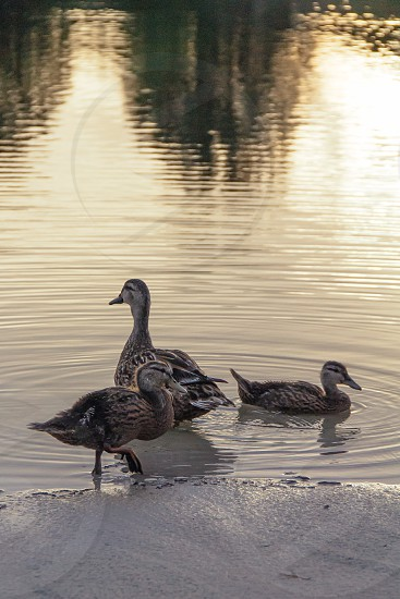 Duck and ducklings swimming in the lake at sunset photo