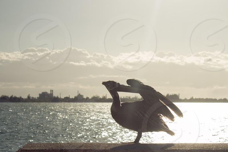 pelican bird beside the sea photo