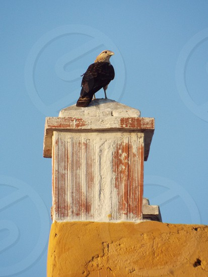 Falcon perched on colorful roof steeple against blue sky in Cartagena Colombia photo