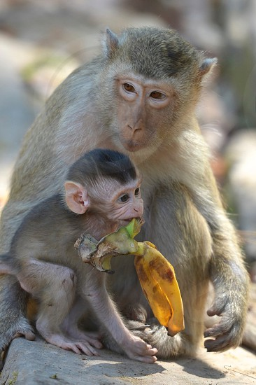 Monkey and the baby in the Cambodian landscape. photo