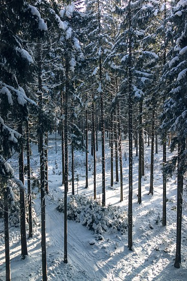 High trees snow cover pathway. photo
