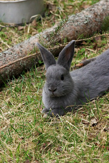 grey rabbit photo