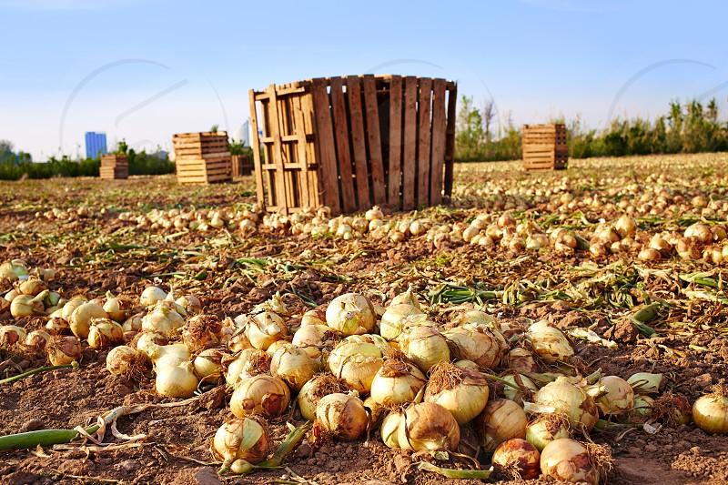 Onion harvest in Valencia Spain huerta field photo