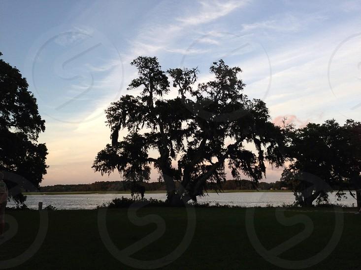 Live Oak Tree Sunset.   photo