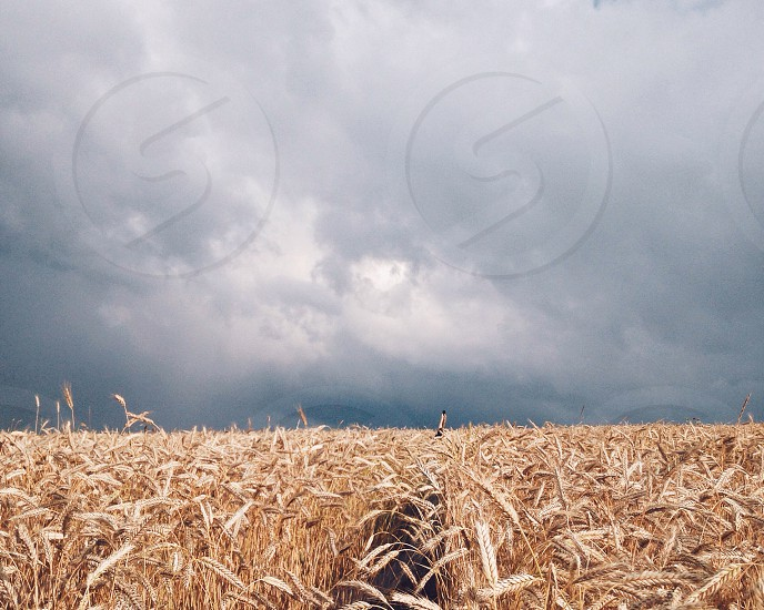 wheat field under a cloudy sky photo