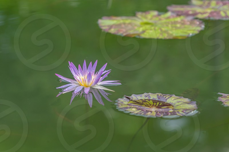 Lotus flower pond after the rain. photo