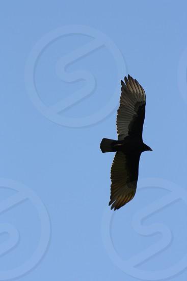 Hawk in Costa Rica photo
